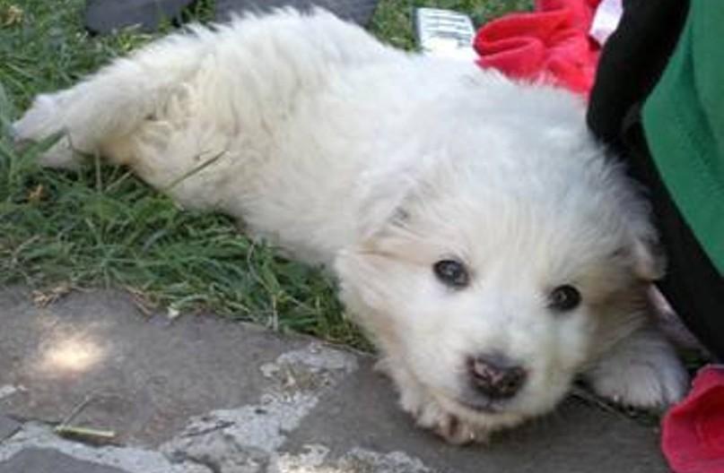 Cucciolo smarrito, ritrovato e restituito ad una bambina