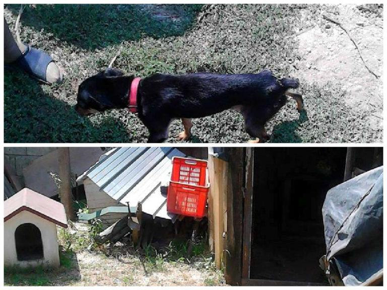 Cucciolo di 6 mesi malnutrito, sporco e rinchiuso in un box, denunciata una donna