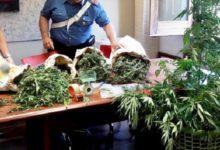 Orticello di cannabis nel garage di casa, in arresto 59enne di Somma