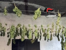 Chili di droga in casa e nel garage un essiccatoio per cannabis, arrestato 37enne