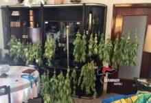Le piante di cannabis? Appese in salotto ad essiccare, un arresto
