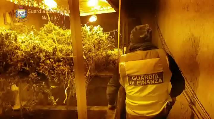 Scoperta serra di marijuana in un sito archeologico di Bacoli. Video