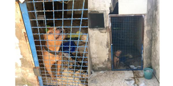 Pitbull utilizzati per combattimenti: ritrovati malnutriti e in stato d'abbandono